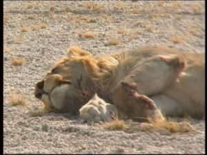 153536818-wounded-animal-injury-sleeping-lion-animal